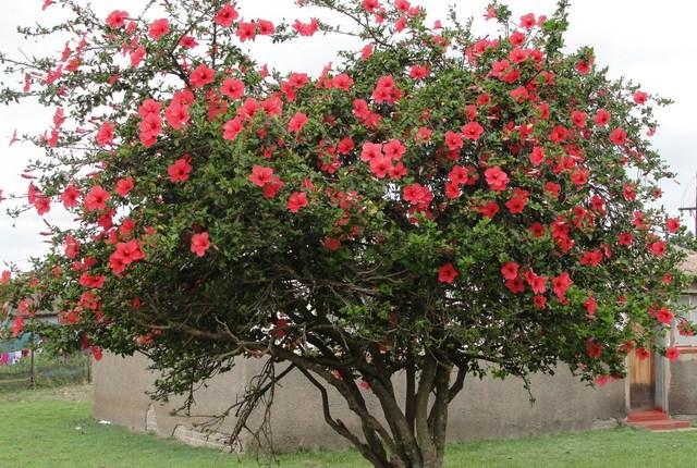 Почему гибискус называют цветком смерти и можно ли держать его дома?