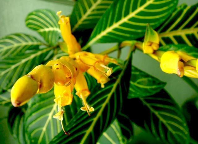 Как цветет санхеция: фото
