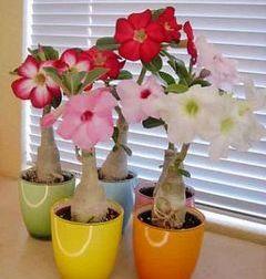 Адениум: фото цветов (все сорта)