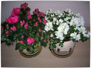 Цветение домашней азалии: фото