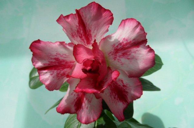 Цветы адениум Monte Carlo: фото