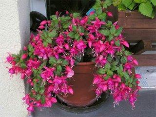 Цветы фуксии - уход и выращивание в домашних условиях