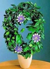 Цветок пассифлора (страстоцвет): фото
