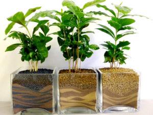 Как выращивать кофейное дерево