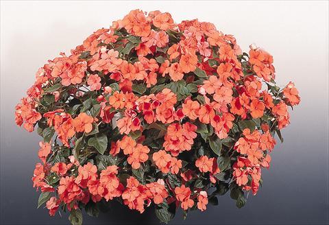 Бальзамин Канди: фото цветов