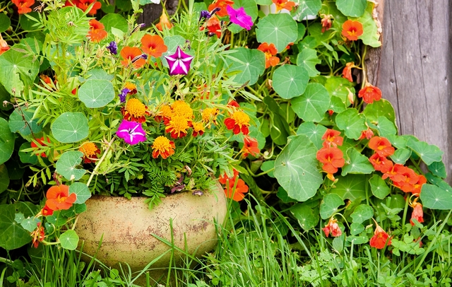 Настурция: фото цветов на клумбе