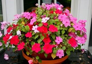 Цветок Бальзамин: сорта, выращивание и уход