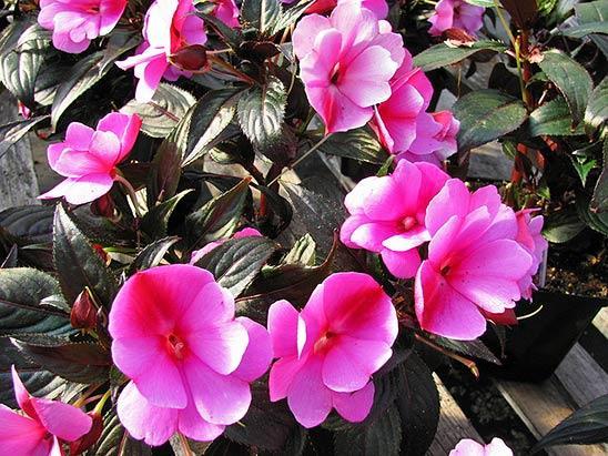 Бальзамин садовый: фото цветов