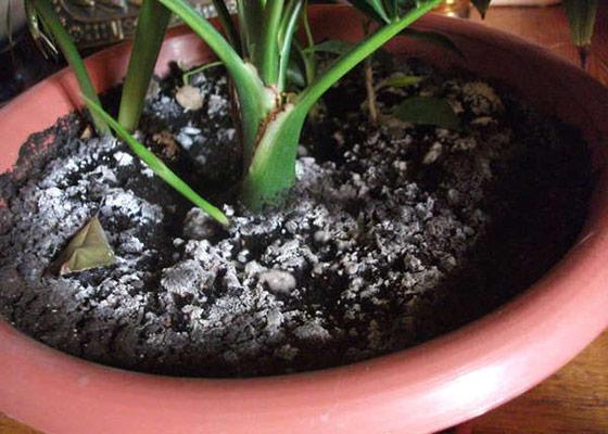 Белый налет и плесень на земле комнатных растений