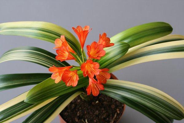 Вериегатная кливия: фото цветов