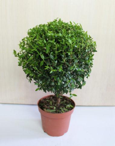 Комнатное растение мирт обыкновенный: фото