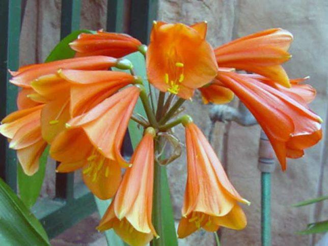Кливия Гардена: фото цветов