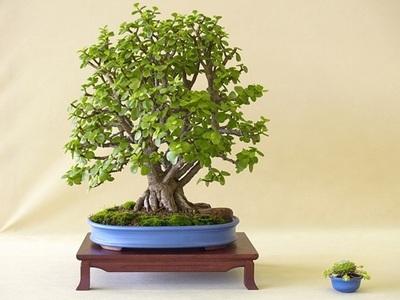 Денежное дерево: приметы и суеверия и полезные свойства