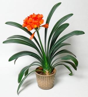 Растение кливия: уход (фото) в домашних условиях
