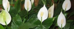Почему спатифиллум называют Женским цветком