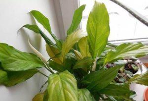 Почему сохнут и желтеют листья у спатифиллума?