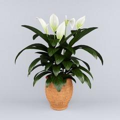 Женский цветок спатифиллум: сорта, фото и уход в домашних условиях