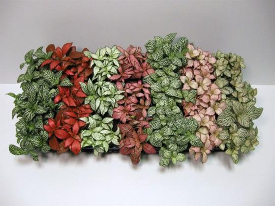 10 самых тенелюбивых комнатных растений: фиттония