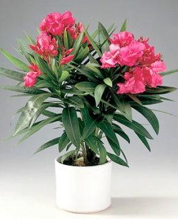 Олеандр - уход в домашних условиях и фото цветов