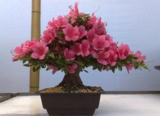 10 самых тенелюбивых комнатных растений: азалия