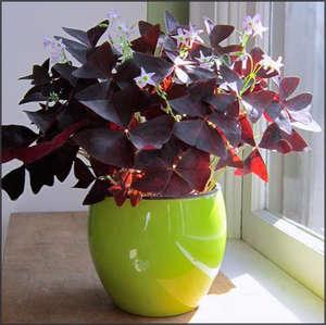 Цветок кислица: фото и уход в домашних условиях