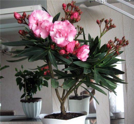 Розовый махровый Олеандр: виды олеандра