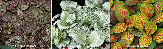 Фиттония сорта для комнатного выращивания