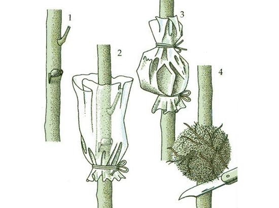 Как размножить цветок кодиеум