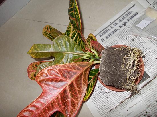 Пересадка растения кодиеум в домашних условиях