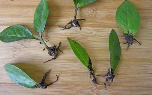 Размножение растения замиокулькас (листом)