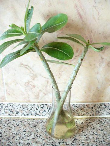 Размножение растения замиокулькас (черенками)