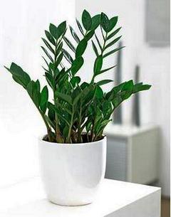Цветок замиокулькас (фото) - размножение и уход в домашних условиях