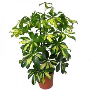 Цветок Шефлера (шеффлера):- уход в домашних условиях и фото