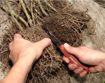 Размножение маранты делением корня