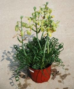 Ухаживаем за Альбукой спиральной правильно: уход за цветком в домашних условиях