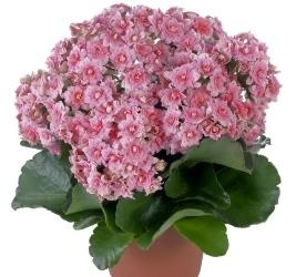 С чего начинается цветение каланхоэ каландива: правильный уход и пересадка