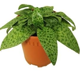 Что следует знать об уходе за цветком дримиопсисом, и какие виды выращивают дома?