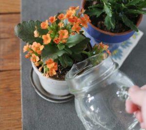 Как правильно поливать растение, подбирать температуру, влажность?