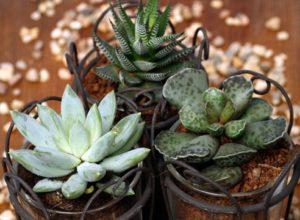 Особенности выращивания Хавортии в домашних условиях и уход