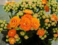 Каланхоэ: правильный уход в домашних условиях, цветение и размножение, вредители и полезные свойства
