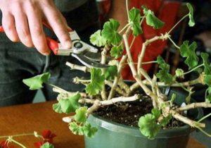 Как правильно обрезать герань для пышного цветения?