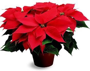 Пуансеттия или Рождественская звезда - отличная альтернатива привычной ели
