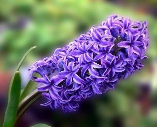 Гиацинт на подоконнике: когда цветок порадует своим цветением?