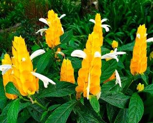 Как заставить цвести пахистахис, и как его размножить?