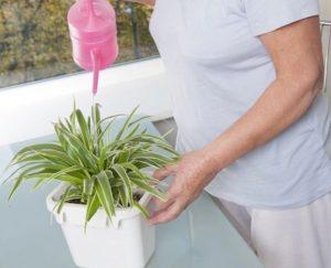 Как правильно выращивать и ухаживать за хлорофитумом дома