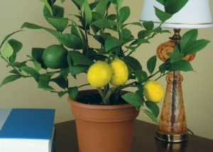 Уход за лимоном дома и необходимые условия