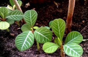 Как размножается комнатное растение