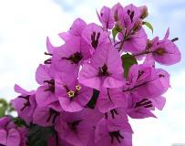 Комнатное растение бугенвиллия - фото, уход в домашних условиях, размножение и пересадка