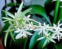 Цветок хлорофитум: виды, уход, размножение и пересадка в домашних условиях, польза и вред, приметы и суеверия