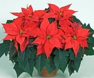 Приметы, уход и размножение за домашним цветком рождественская звезда